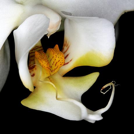 Phalaenopsis Cool Breeze