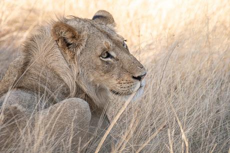 World Lion Day 2020 ...