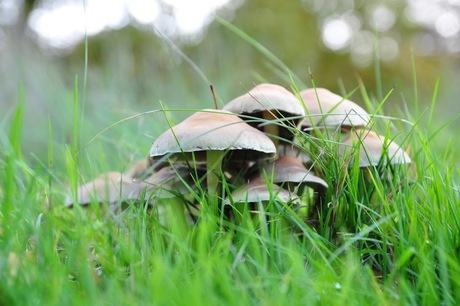 Paddestoelen in het gras