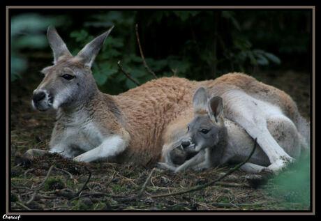 moeder en baby kangaroe