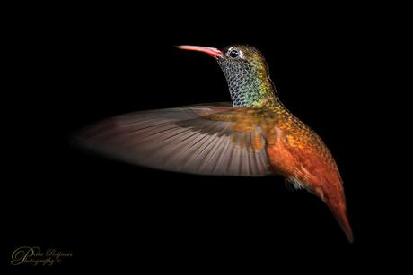 - Kolibrie -