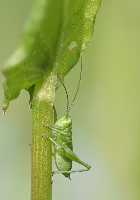 Grote Groene Sabelsprinkhaan (nimf 5mm).