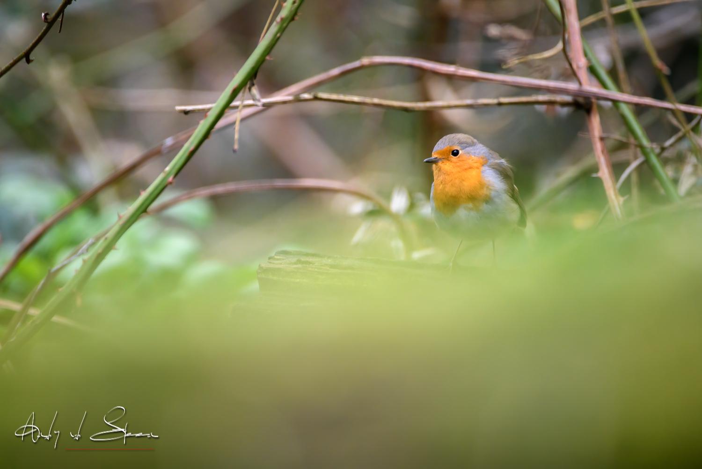 roodborst - roodborst - foto door AndyvdSteen op 15-04-2021 - deze foto bevat: vogel, vogeltje, vogeltjes, vogels, roodborst, roodborstje, wildlife, natuur, vogel, europees roodborstje, bek, organisme, takje, aanpassing, terrestrische plant, zangvogel, hout, veer