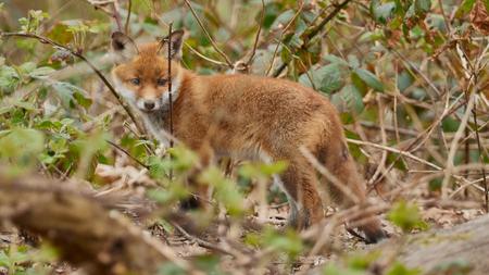 Jonge vos - ... - foto door Christiaan_zoom op 11-04-2021 - locatie: Den Haag, Nederland - deze foto bevat: vos, natuur, jonge vos, bos, den haag, dieren, landschap, willdlife, fabriek, vos, rode vos, carnivoor, fawn, terrestrische dieren, natuurlijk landschap, bakkebaarden, gras, snelle vos