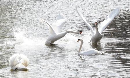 Vrijheid - Na een lange periode van vijf à zes maanden opgesloten geweest te zijn, zijn de Brugse zwanen terug vrijgelaten. Het plezier spatte er dan ook vanaf. - foto door annelies.marien op 12-04-2021 - locatie: Brugge, België - deze foto bevat: zwanen, brugge, belgië, natuur, vogel, water, gewervelde, bek, natuurlijke omgeving, nek, zoogdier, eenden, ganzen en zwanen, organisme, meer