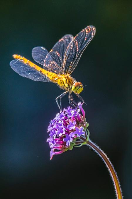 Verbena - Gisterochtend zat deze bloedrode heidelibel (volgens mij) op de Verbena en op de achtergrond een rode beukenhaag in mijn tuin. Soms moet je een beetj - foto door diaantje78 op 30-06-2019 - deze foto bevat: zon, bloem, natuur, zomer, insect, libell