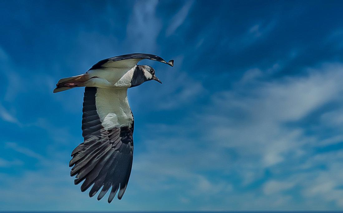 Kievit in vogelvlucht - Dansen in de lucht.  Onnavolgbaar zijn ze soms. In de paartijd halen de mannetjes allerlei capriolen uit in hun vlucht. Allen bedankt voor de fijne  - foto door hvr2105 op 05-04-2021 - deze foto bevat: vogel, kievit, telens