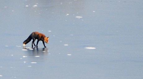 vos op het ijs