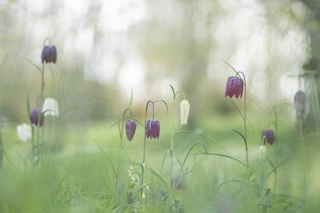 Now on stage: De Kievitsbloemen - Kievitsbloemen....wat zijn ze toch mooi. Helemaal als er zoveel bij elkaar staan. - foto door birgitte61 op 17-04-2021 - deze foto bevat: bloem, bloemen, kievitsbloem, frittelaria, lente, natuur, macro, macrofotografie, natuurfotografie, kievitsbloemen, bloem, fabriek, ecoregio, bloemblaadje, natuurlijk landschap, grasland, terrestrische plant, landschap, bloeiende plant, landelijk gebied