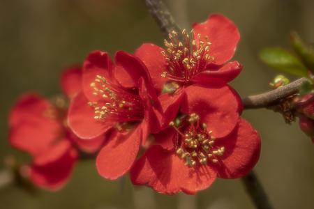 Rood - Rode bloesem  - foto door cdgrf op 16-04-2021 - deze foto bevat: rood, bloem, bloesem, voorjaar, lente, geel, bloem, fabriek, bloemblaadje, terrestrische plant, takje, bloesem, bloeiende plant, rose familie, rose bestelling, stuifmeel