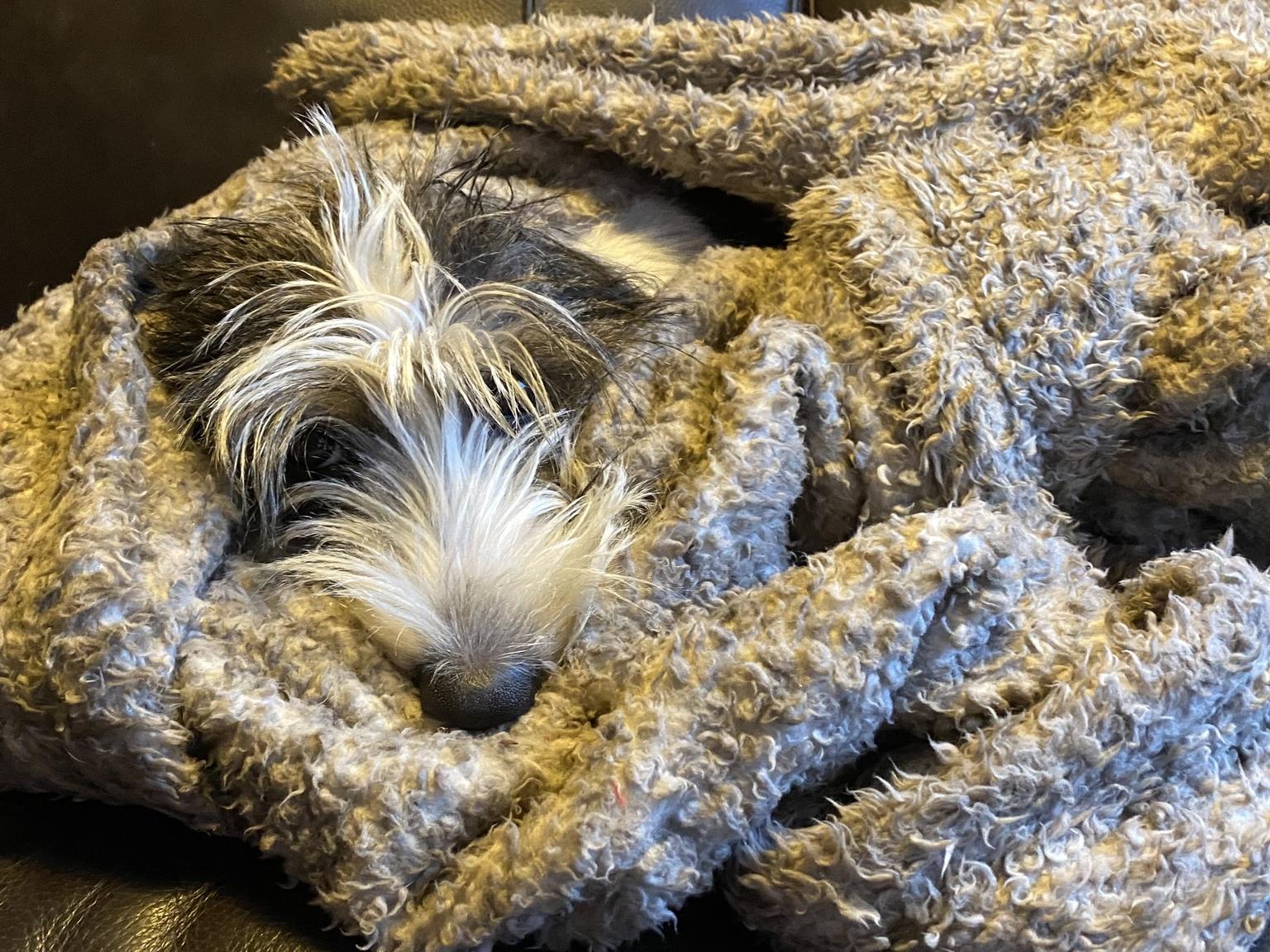 Ingepakt - Ingepakt pupje op de bank - foto door aartvanwijk op 11-04-2021 - locatie: Enkhuizen, Nederland - deze foto bevat: puppy, carnivoor, snuit, detailopname, hondenras, vacht, elektrisch blauw, metgezel hond, roofvogel, sportieve groep, terriër