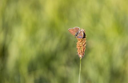 Genietend.... - van de eerste zonnestralen kon ik deze bruine vuurvlinder vastleggen. Hij had net zijn vleugels gespreid.  Altijd weer heerlijk om dit te beleven in  - foto door franspelzer op 14-10-2019 - deze foto bevat: groen, macro, lente, natuur, vlinder, bruin, insect, bruine vuurvlinder, franspelzer