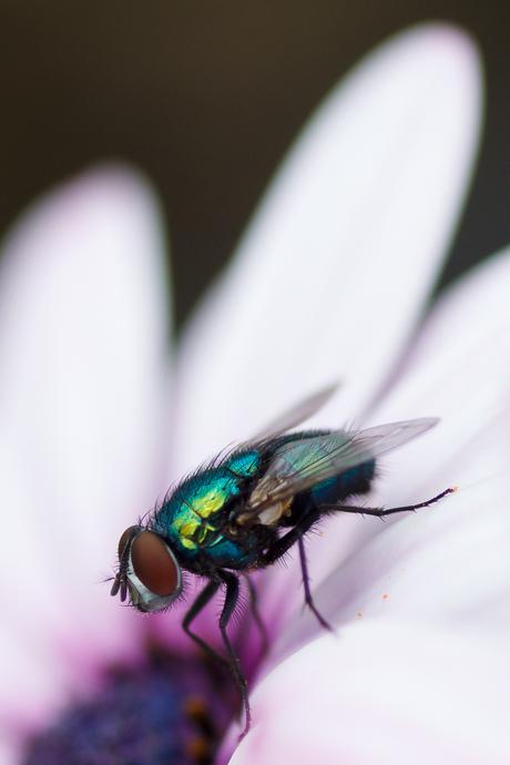 vlieg in bloem