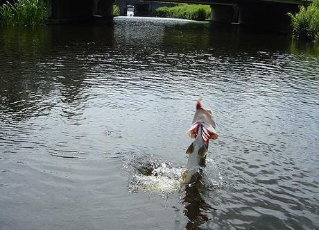 Jumping Pike