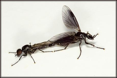 haarmuggen