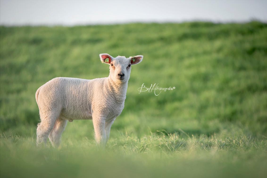 Lammetje - Wat kan ik genieten van lammetjes! Voor mij het ultieme lentegevoel. Het ene moment liggen ze lekker warm bij hun mama en het andere moment springen - foto door BiancadH op 21-04-2020 - deze foto bevat: boerderij, lente, natuur, dieren, schaap, voorjaar, lammetje, baby, nederland, polder, jong, lam, scherptediepte, dof, bokeh