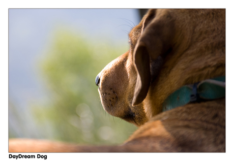 DayDream Dog