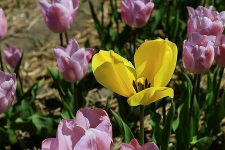 geel tussen paars - Nu weer even terug naar het voorjaar.  Groet Roland - foto door ro op 27-11-2016 - deze foto bevat: tulpen, tulp, tulpenveld