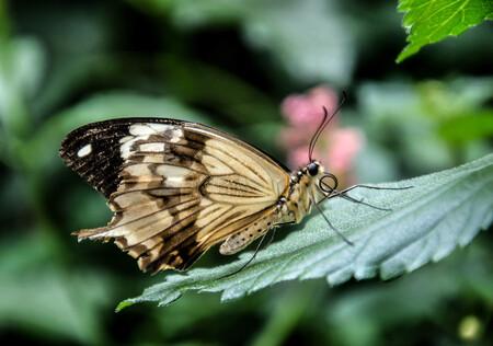 vlinder 10 - uit de vlindertuin Gemert waar de klant nog overspoeld wordt met info als men dat wil. Geert de beheerder is alle dagen aanwezig in de tuin om info  - foto door eugene-fotografie op 07-01-2018 - deze foto bevat: vlinder