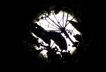 zie de maan - Op een zomerse nacht stond in de tuin de volle maan achter een vlierstruik en gaf dit doorvallend licht als silhouet. - foto door frani op 31-03-2017 - deze foto bevat: vlier, zomer, nacht, volle maan, doorvallend licht