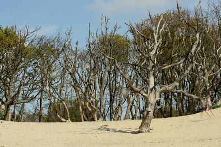 Grapje (1) - Op het eerste gezicht gewoon een plaatje van wat dode bomen in het zand, maar er is iets grappigs.... rechts in beeld... voor details zie volgende up - foto door belton op 20-05-2010 - deze foto bevat: duinen, bomen, zand