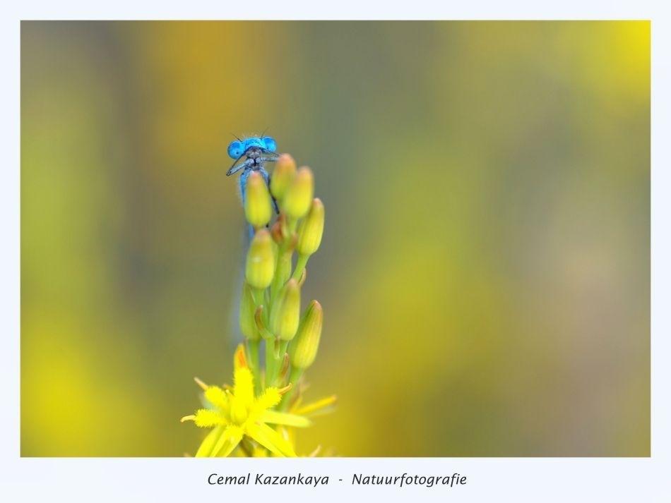 Juffertje - Juffer..  90mm - iso 100  1/50sec - F/4 - foto door CemalKazankaya op 28-02-2016 - deze foto bevat: groen, paars, macro, blauw, bloem, lente, juffer, natuur, geel, licht, waterjuffer, libel, zomer, insect, dof, bokeh, cemal kazankaya