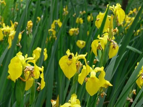hommel in een gele bloem