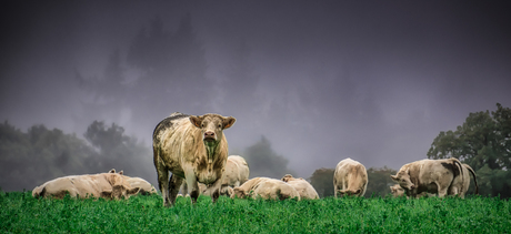 French cows in the mist