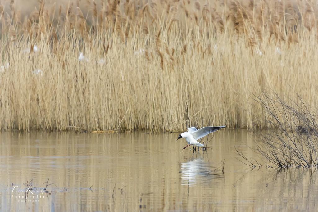 Kokmeeuw - Avondwandeling in Het Vinne. - foto door Eddyk op 10-04-2021 - locatie: 3440 Zoutleeuw, België - deze foto bevat: vogel, water, bek, meer, veer, natuurlijk landschap, vleugel, getijdenmoeras, hout, zoetwatermoeras