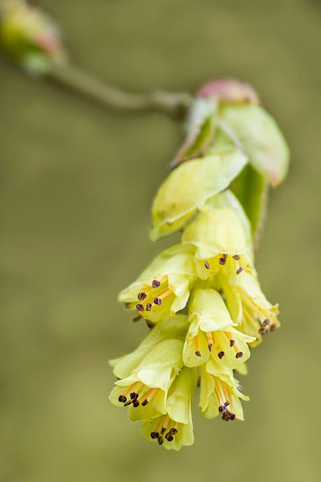 Schijnhazelaar (corylopsis pauciflora)