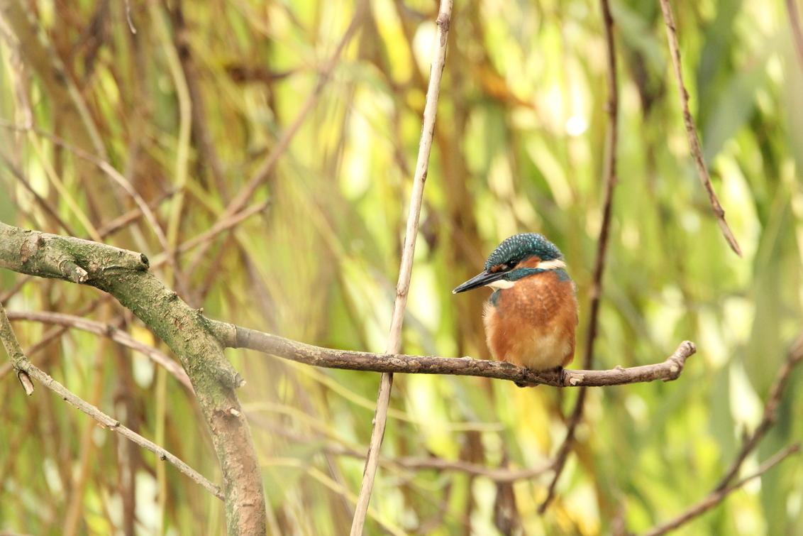 IJsvogel - - - foto door KarinVeenema op 02-12-2020 - deze foto bevat: vogel, wildlife, ijsvogel