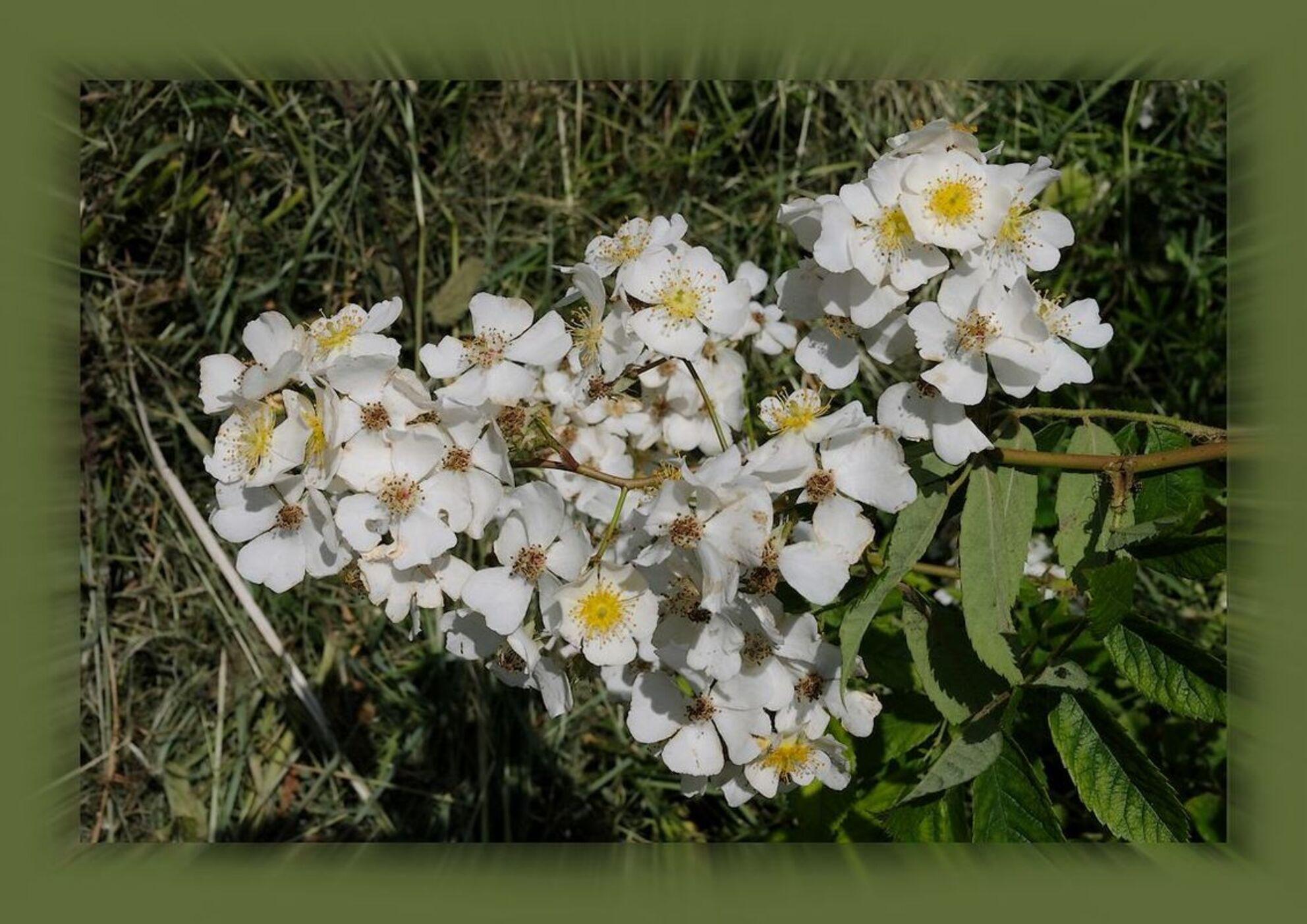 Voor veel Bramen... - Allen bedankt voor jullie reactie's op vele tinten groen..  Nu een groepje Bramen bloesem...  gr jenny.. - foto door jenny42 op 25-06-2019 - deze foto bevat: groen, zon, bloem, lente, natuur, geel, licht, blad, landschap, nederland, meppel, bramenbloesem.