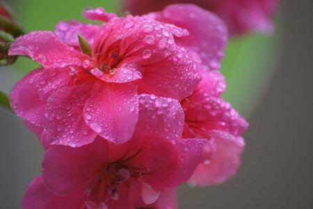 Zomer 2011 - Regendruppels die erg mooi op bloemblaadjes van een geranium blijven liggen.. - foto door akka_zoom op 21-07-2011 - deze foto bevat: kleuren, bloem, water, regen, bloemen, druppels, fel, scherptediepte, statief, onbewerkt, beeldstabilisatie uit