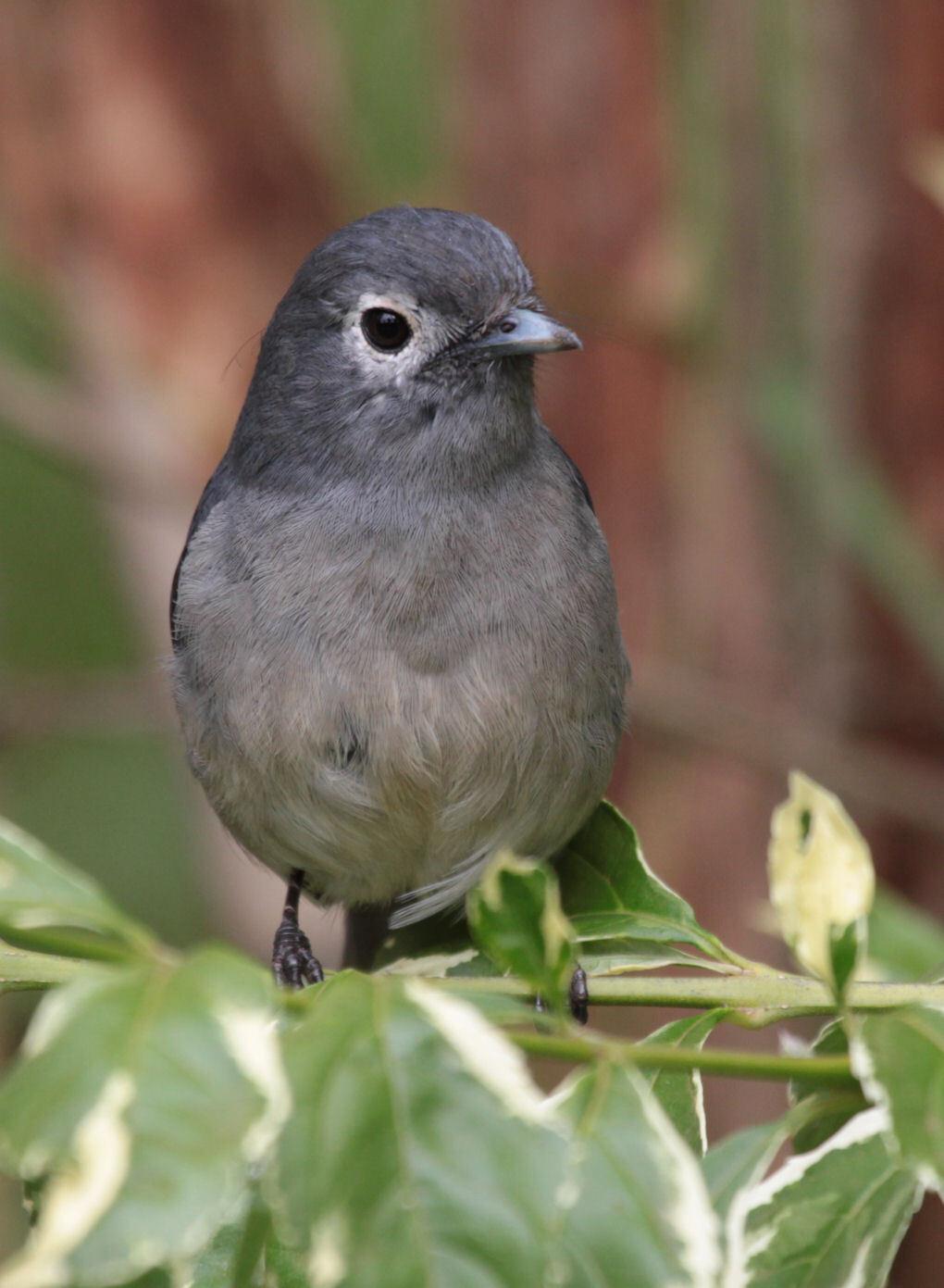 White-eyed Slaty Flycatcher - Ook deze bijzondere vogel heb ik gefotografeerd in de tuin van ons hotel in Nyeri. - foto door dunawaye op 09-10-2010 - deze foto bevat: vogels, kenia, kenya, flycatcher, Nyeri, White-eyed Slaty Flycatcher