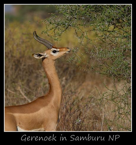 Gerenoek in Samburu NP