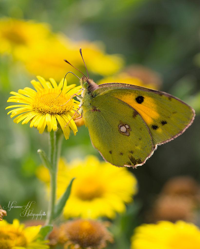 Oranje Luzerne vlinder - Veel  Oranje Luzerne vlindes op Ritthem dit jaar. - foto door Sizzle op 21-08-2013 - deze foto bevat: macro, natuur, vlinders, oranje luzerne vlinder