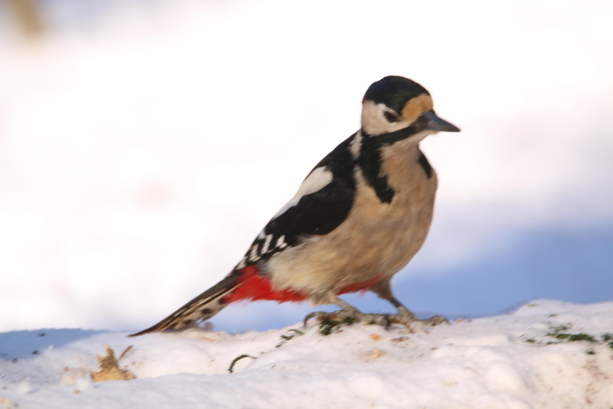 spechte - - - foto door adriejasper op 08-03-2021 - deze foto bevat: sneeuw, winter, vogel