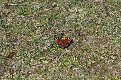 vlinder in het gras