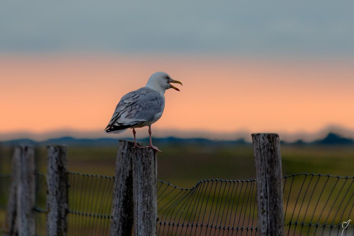 mijn mijn mijn - - - foto door wardkeijzer op 24-09-2020 - deze foto bevat: water, meeuw, natuur, paal, oranje, zonsondergang, portret, dieren, vogel, watervogel, compositie, wildlife, hekje, uitsnede, kijkrichting