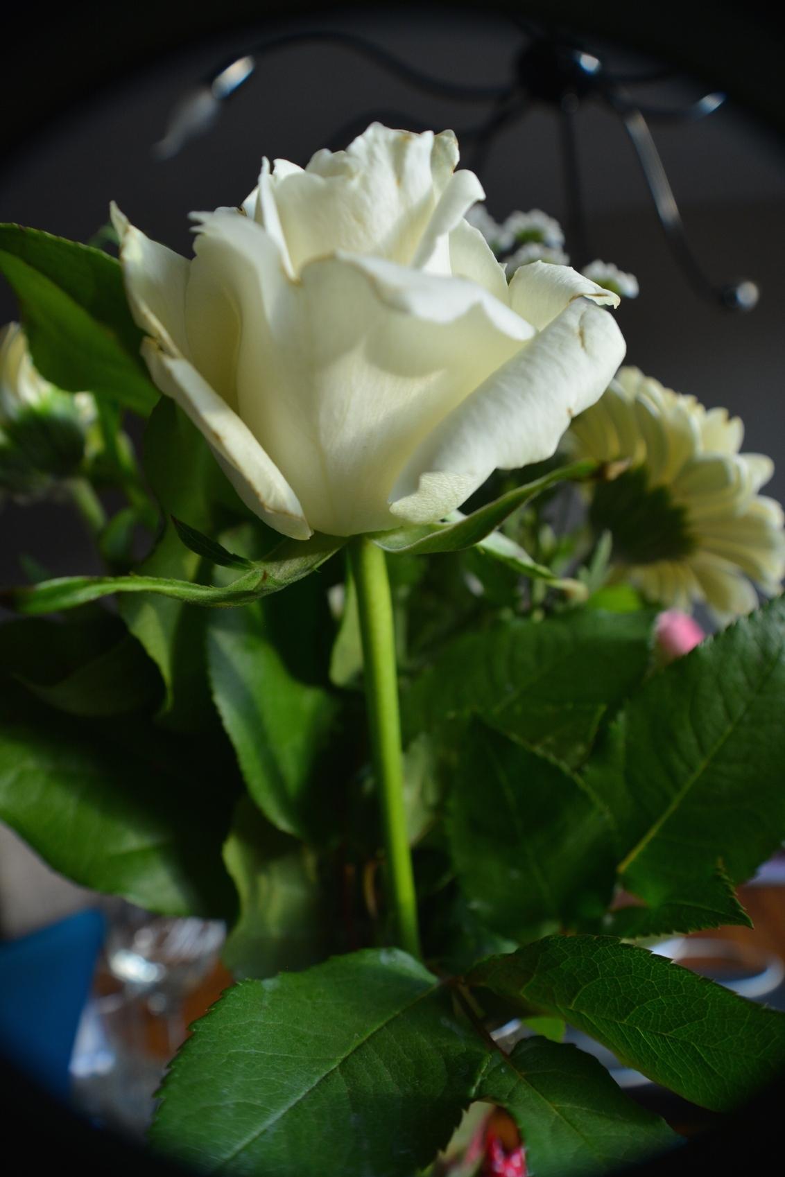 White rose - - - foto door manongeven op 23-09-2015 - deze foto bevat: wit, bloem, natuur, roos, stilte, bidprentje