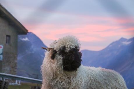schaap in Zermatt met zonsondergang
