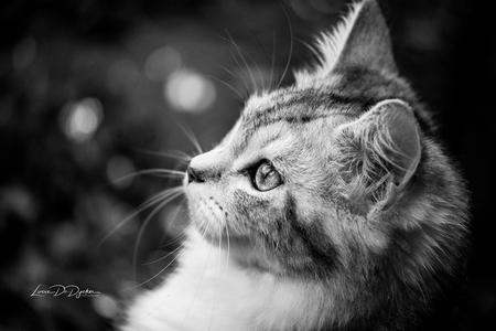 De mooie Sheba - - - foto door luciadedycker op 02-02-2021 - deze foto bevat: kitten, poes, dieren, huisdier, kat, wildlife, jong