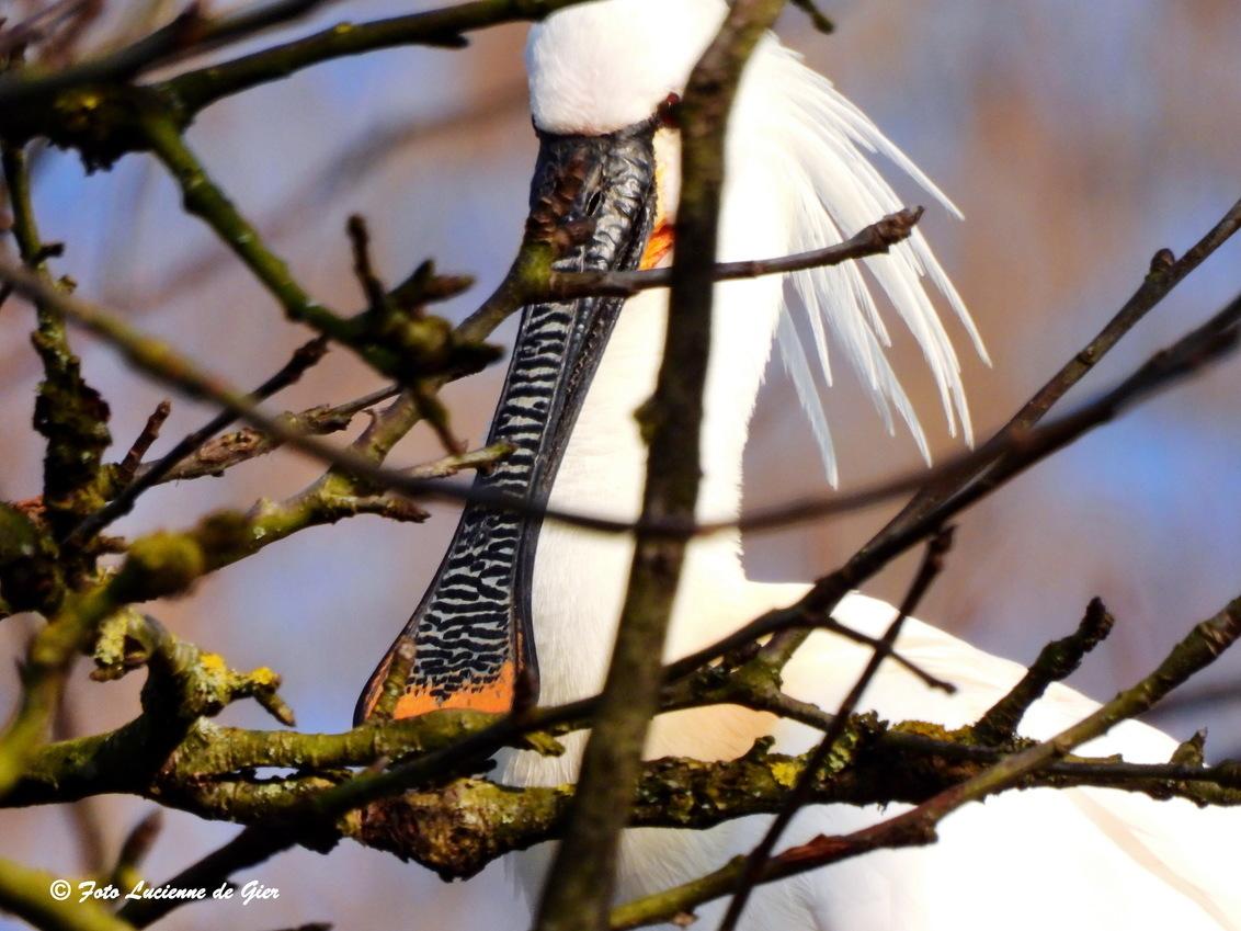 Lepelaars terug van weggeweest. - De lepelaars zijn er weer. - foto door l.degier60 op 27-02-2021 - deze foto bevat: vogel, lepelaar