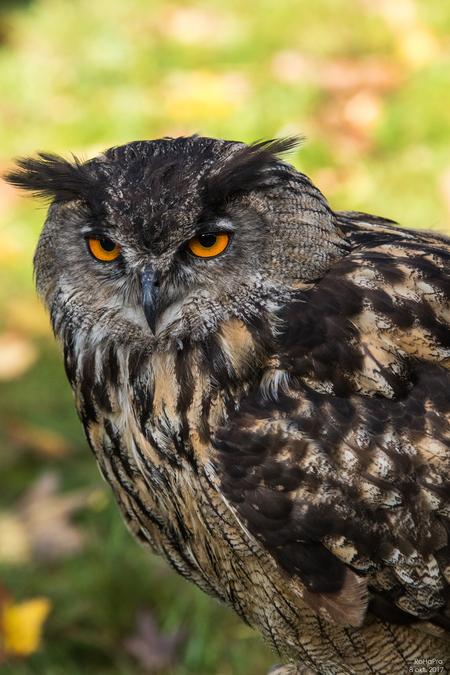 Canon Experience Day - Roofvogels_04 - 'Workshop Roofvogels / Steven Ruiter', tijdens de Canon Experience Day op 8 okt. 2017.  Close-Up Uil - foto door RoHaPro op 11-10-2017 - deze foto bevat: uil, dieren, roofvogel