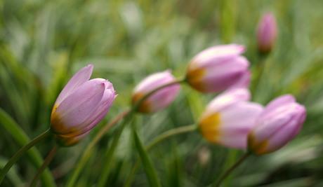 Tulpen,...