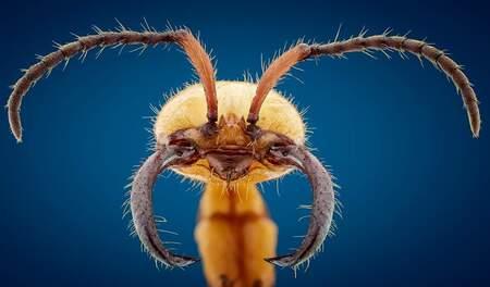 SoldatenMier - Het Portret van een SoldatenMier deze mammoetachtige mieren eten daadwerkelijk alles wat ze tegenkomen in het regenwoud!  iso 250 f6.3 1/125 ca 104 - foto door marcojongsma op 19-03-2020 - deze foto bevat: macro, wit, blauw, lente, natuur, geel, licht, oranje, mieren, zwart, mier, tegenlicht, insect, bokeh, focusstacking, extrememacro
