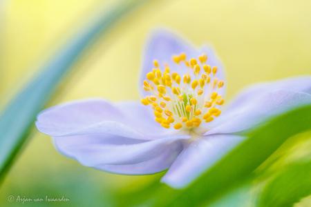 Colours of Spring - - - foto door avico22 op 29-04-2015 - deze foto bevat: groen, macro, blauw, bloem, lente, natuur, geel, tuin, bosanemoon, dof, bokeh