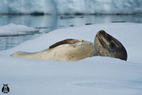 Antarctica - Leopard seal