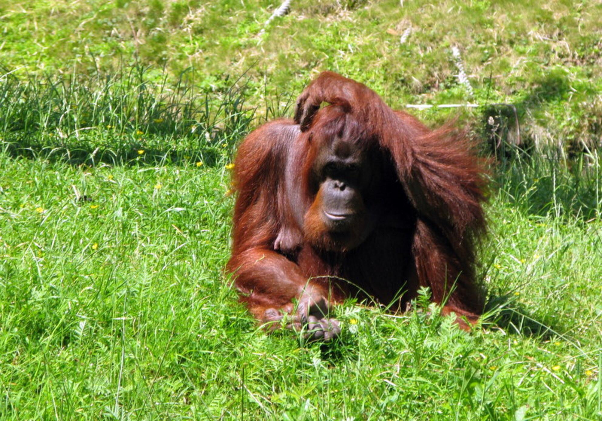 Even denken - 2-1 voor Nederland Allemaal veel plezier - foto door sabine61 op 29-06-2014 - deze foto bevat: dierentuin, aap