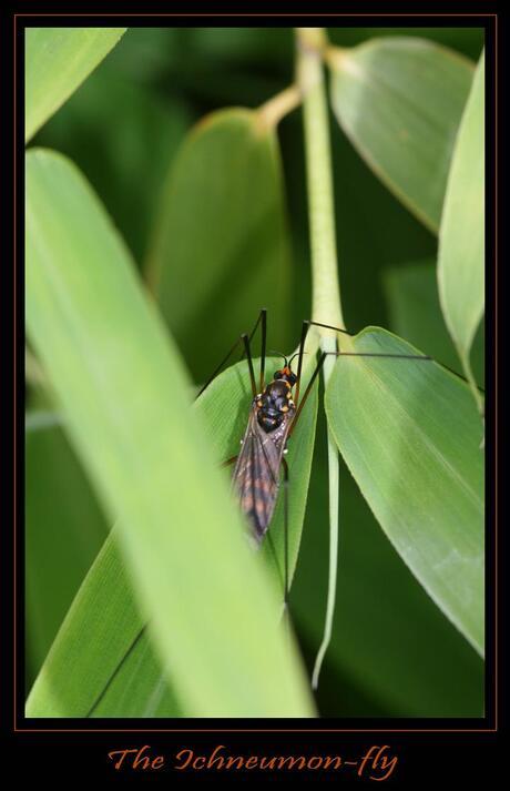 the ichneumon-fly ???